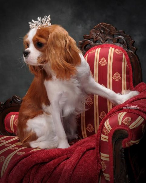 Cavalier with tiara